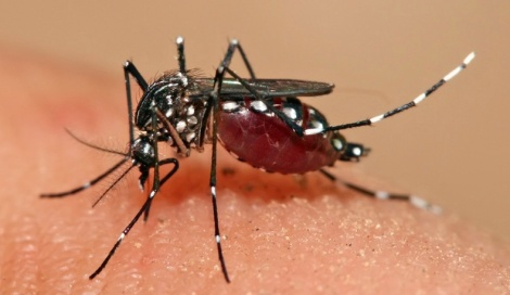 Mosquito: Aedes Aegypti, Yellow Fever, Dengue